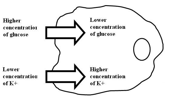 Facilitated Diffusion Of Glucose Through Carrier Proteins
