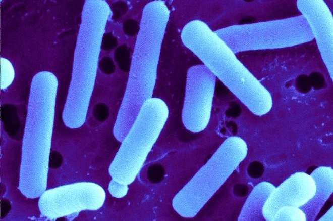 Could probiotics replace antibiotics for wound healing?