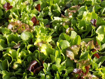 Lettuce and Nutrition – Are Some Varieties Better Than Others?