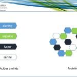 acides aminés, protéine, alanine, arginine, lycine, sérine