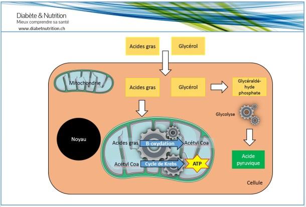 B-oxydation, cycle de Krebs, métabolisme, lipides, acides gras