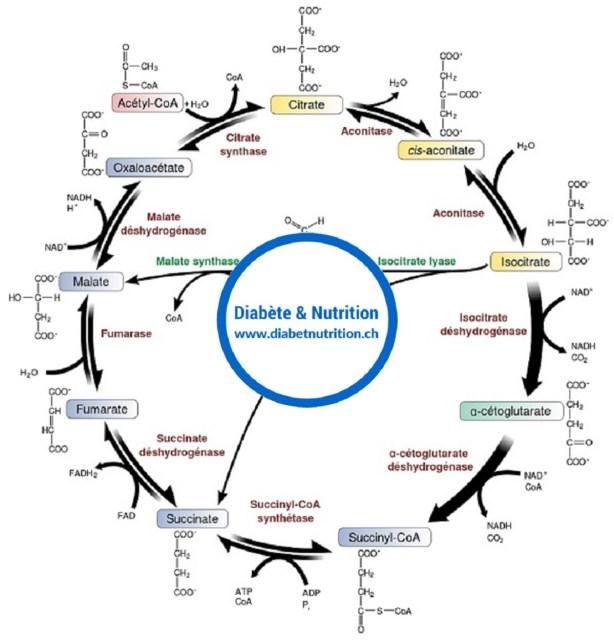 métabolisme, cycle de Krebs, anabolisme, catabolisme, ATP
