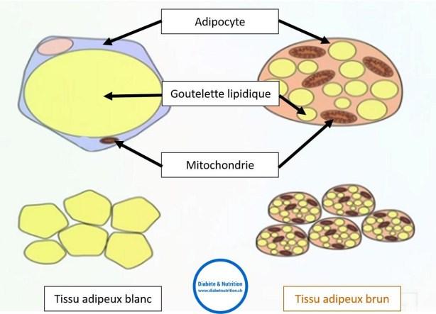 diabète, adipocyte, goutelette lipidique, mitochondrie, tissu adipeux blanc, tissu adipeux brun