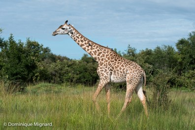 Girafe de Thornicroft.