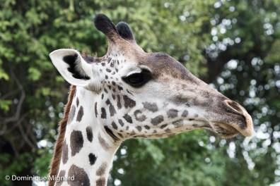 Girafe de Thornicroft.