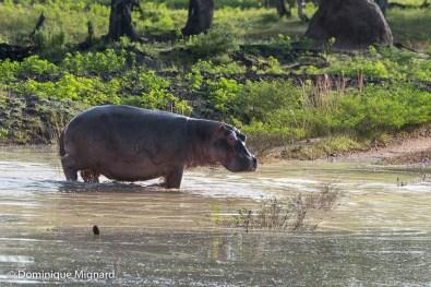 Sous les pattes de l'animal, l'eau dissimule un pont normalement emprunté par les véhicules.