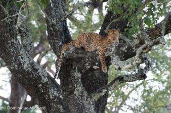 Femelle léopard branchée