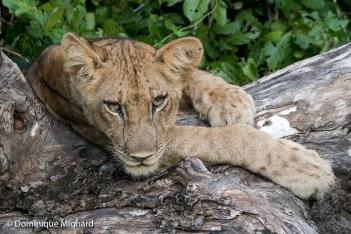 Jeune lion à l'abri de l'humidité sur un tronc d'arbre.