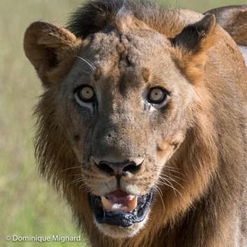 Un des trois lions remettant en cause le territoire de Ginger et de Garlic.