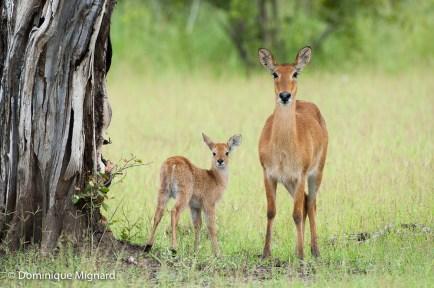Jeune puku avec sa mère.