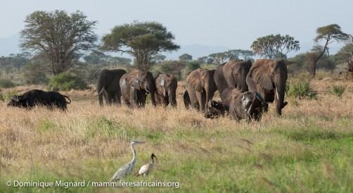 Elephant de savane - Loxodonta africana - Parc de Meru