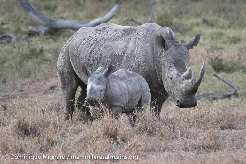 Rhinocéros blanc - Ceratotherium simum - Parc de Nakuru