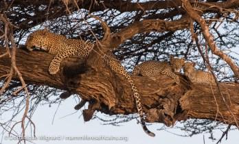 Léopard - Panthera pardus - Réserve de Samburu