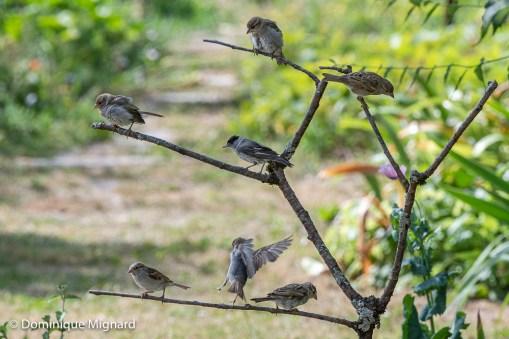 """""""Séchoir à oiseaux"""" ! A la sortie du bain de nombreux oiseaux aiment se poser sur cette branche plantée par nos soins. Ils s'y secouent, se toilettent et se font sécher avant de reprendre leur envol. Moineaux et fauvette à tête noire."""
