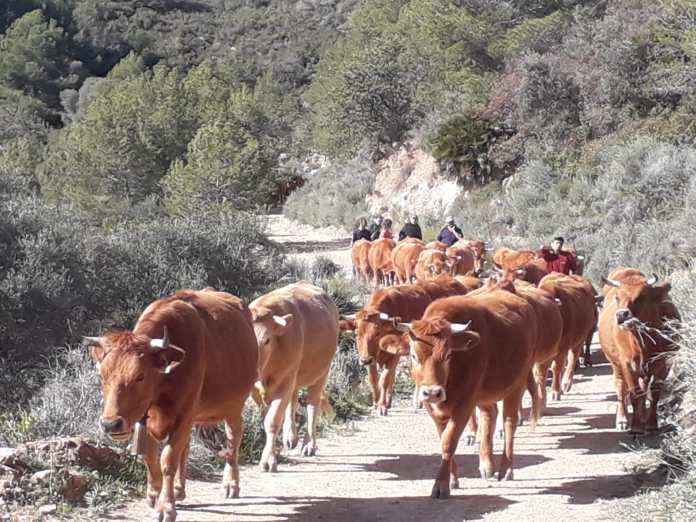 Les vaques transhumants arriben al Prat de Cabanes travessant Penyagolosa