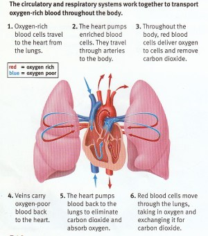 Sample 1: Heart and Lung Diagram  Accessible Image Sample