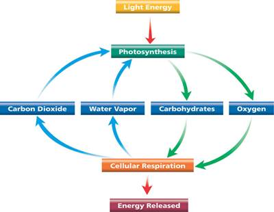 photosynthesis and cellular respiration cycle diagram dodge wiring specific guidelines diagrams relational center the of