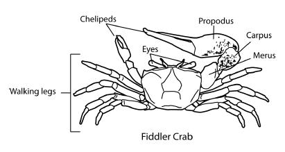 Fiddler Crab Diagram