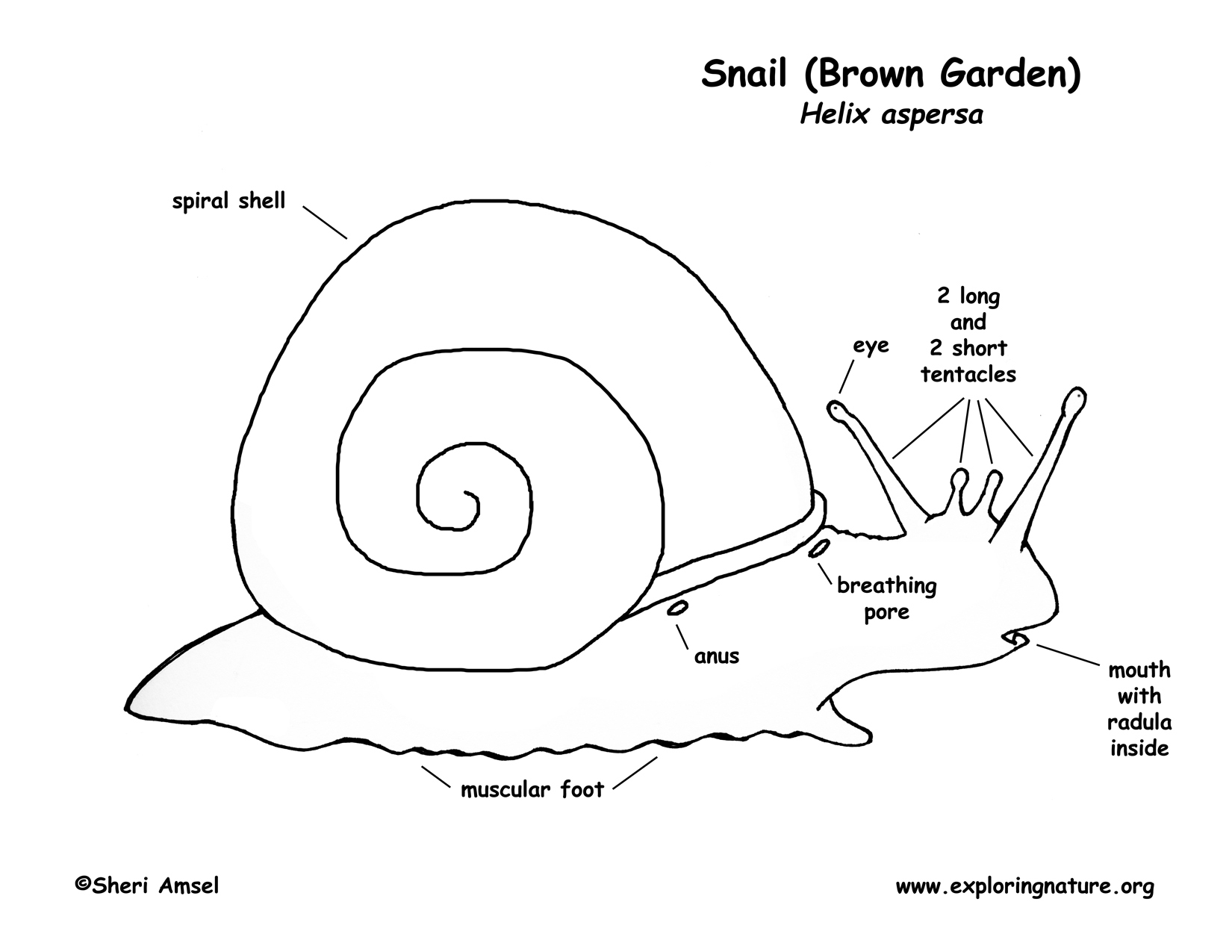 Snail Diagram With Labelling