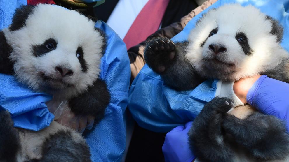 Revelan nombres y sexo de primeros pandas nacidos en cautiverio