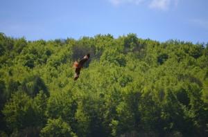 Rotmilan in den über den Wiesen