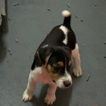 Bearx- Tri color Male- Available $950.00