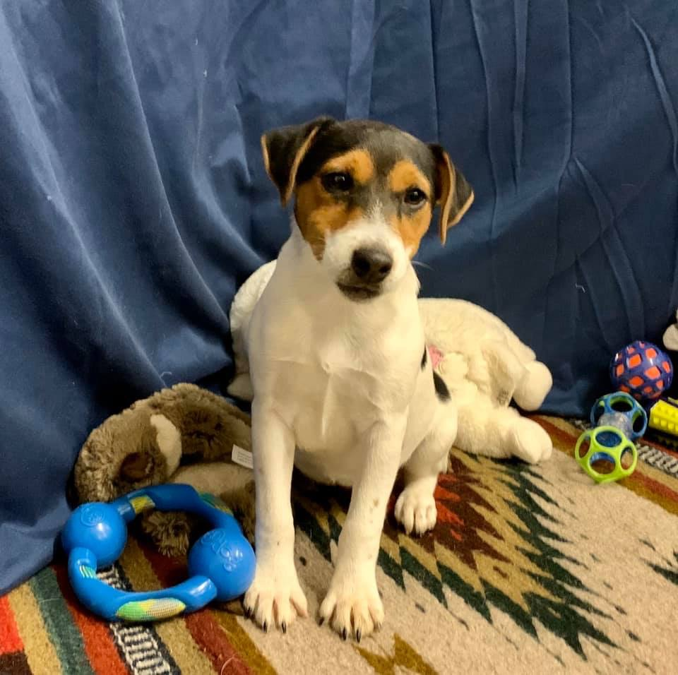 Trixie- Tri Colored Female- Available $1000.00