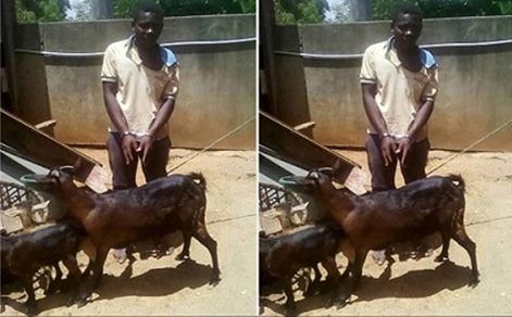Man Accused Of Raping Goat Says He Asked The Animal For Permission