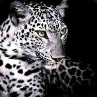 White Leopard Diamond Painting Kit