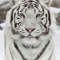 White Tiger Diamond Painting Kit
