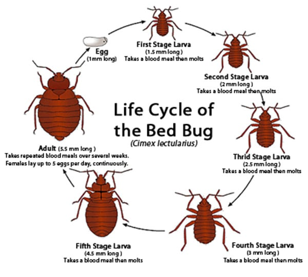 Can Bed Bugs Survive In Winter? - Diamond Pest Control