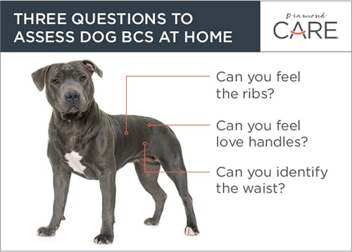 Three Questions to Assess BCS at Home Guide | Diamond Pet Foods