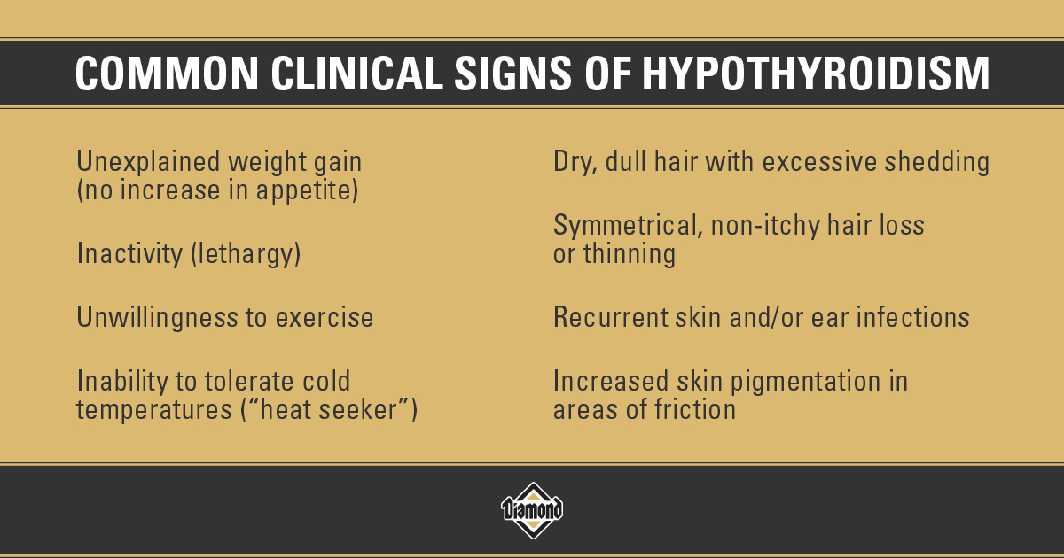 Common Clinical Signs of Hypothyroidism in Dogs Infographic   Diamond Pet Foods