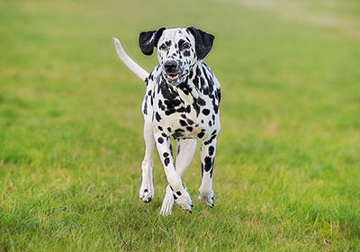 Dalmatian Dog Running | Diamond Pet Foods