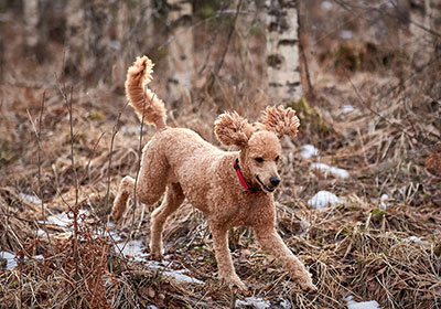 Standard Poodle Dog Running | Diamond Pet Foods