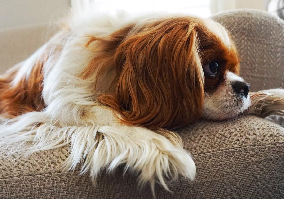 Cavalier King Charles Spaniel on a Sofa   Diamond Pet Foods