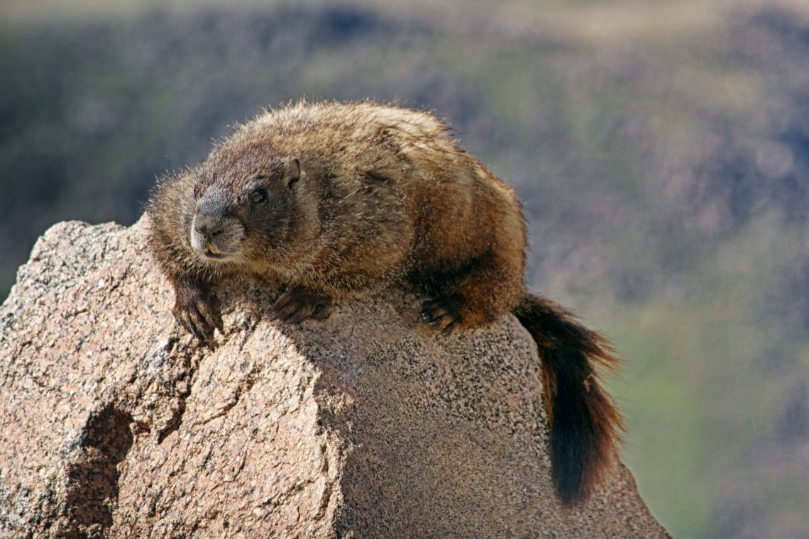 Marmot Lookout