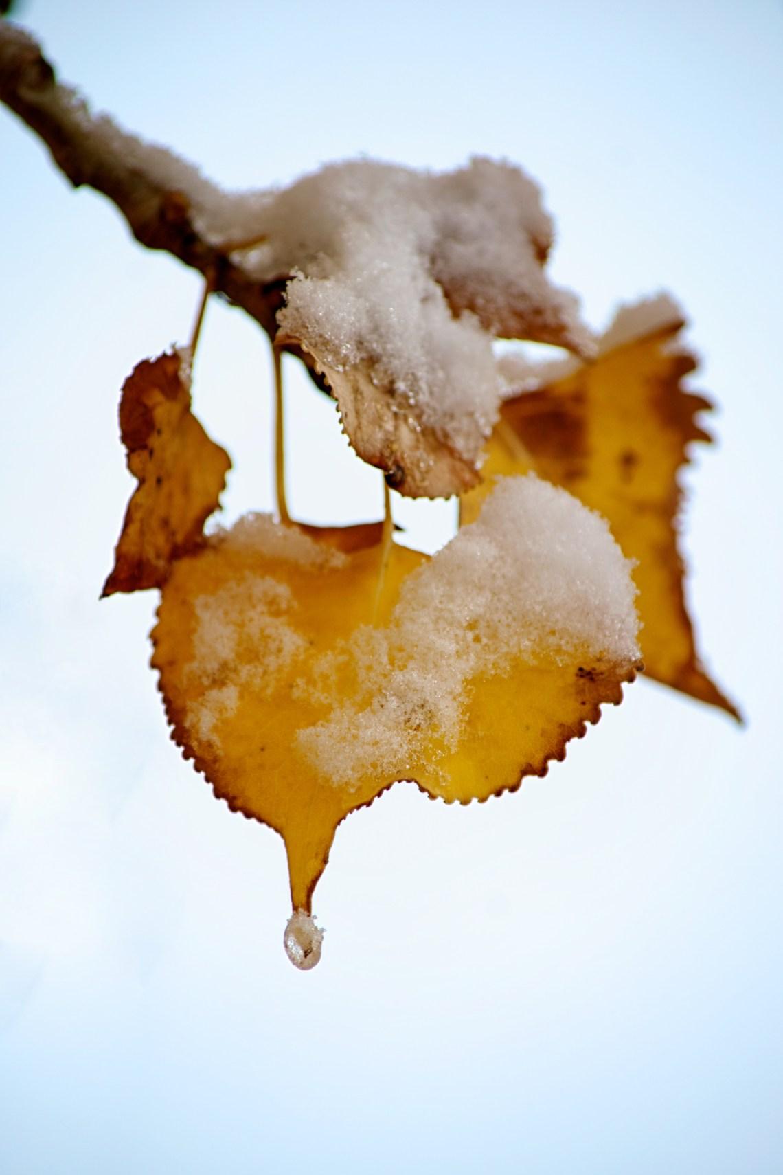 Snowy Aspen Leaf Cluster