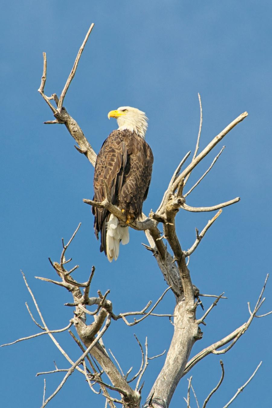 Bald Eagle Looking Back