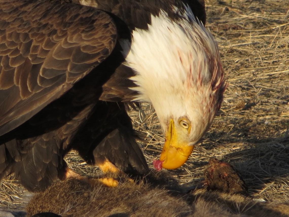 Eagle Deer Guts