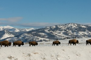 Bison Travels