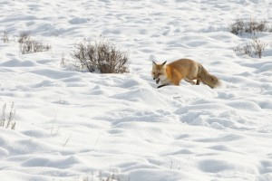 Fox Running through Snow