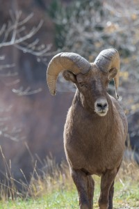 Colorado Big horn Sheep Ram , Waterton Canyon