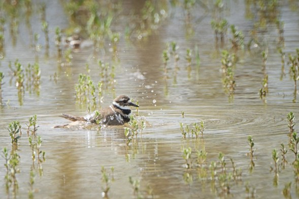 Killdeer splishing