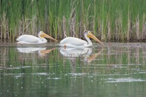 pelicans website