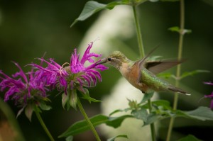 hummingbird enjoying flower