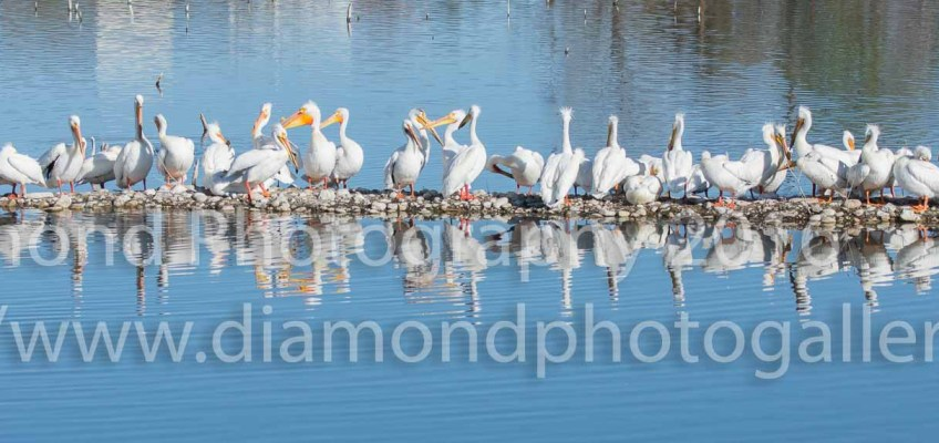 10 Fun Facts about Pelicans