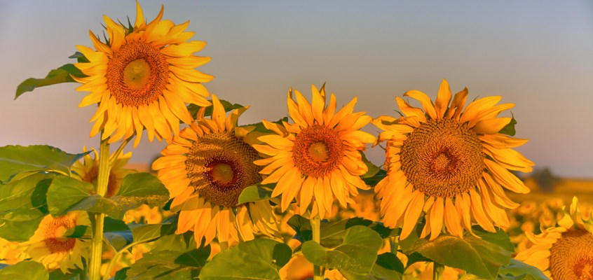 Sunrise at the sunflower fields