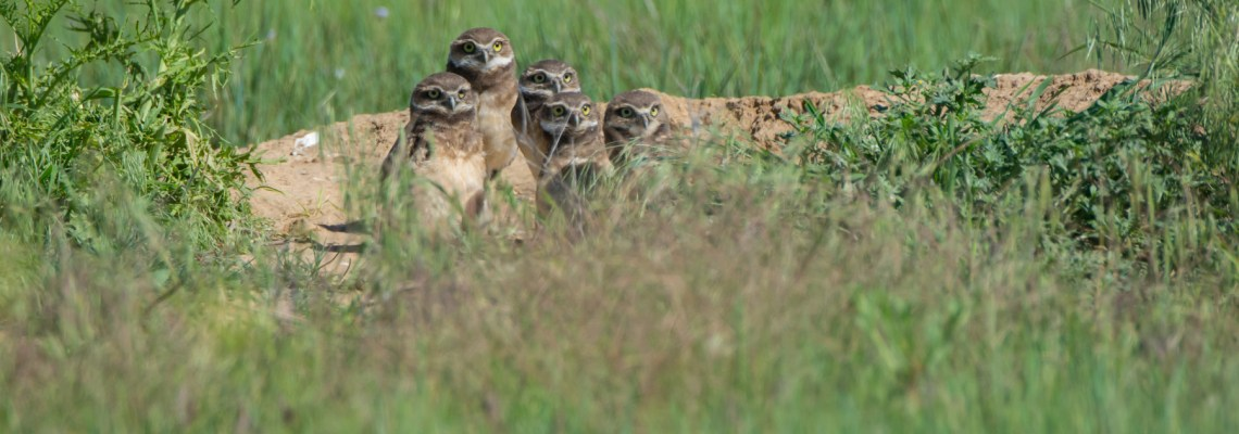 Burrowing Owl Cuteness