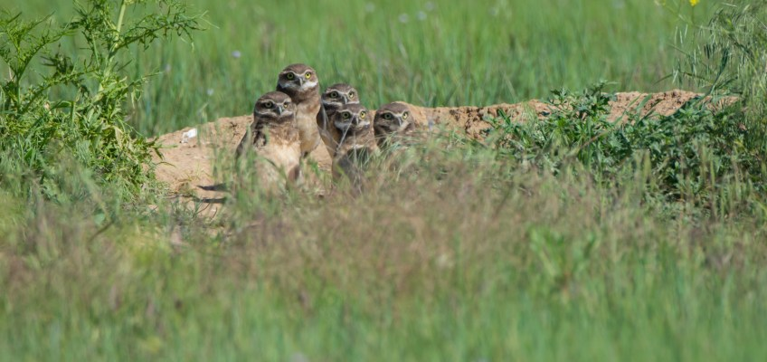 Burrowing Owl Cuteness